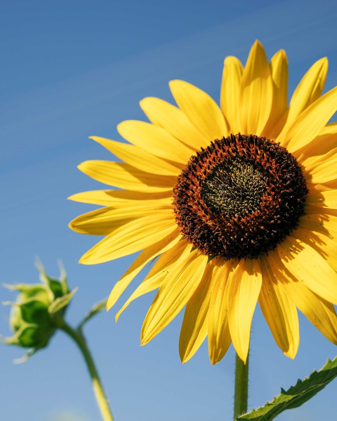 Twarzą do słońca. #słoneczniki #sunflowers #sunflower #kwiaty #lato #photography #wakacje #poland #summer #słonecznik #polska #warsaw #photo #flowers #kolory #love #sierpień #spring #nature #dress #flowerpower #instapic #follow #beautiful #bukiet #likeit #instaphoto #ogród #flowerstagram #kochamlato